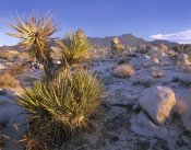 Tim Fitzharris - Mojave Yucca in rocky landscape, Mojave National Preserve, California