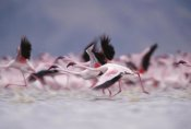 Tim Fitzharris - Lesser Flamingo flock taking flight from the surface of a lake, Kenya