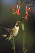 Tim Fitzharris - Broad-tailed Hummingbird feeding on Scarlet Gilia flowers, New Mexico
