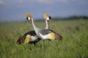 Tim Fitzharris - Grey Crowned Crane couple courting, Masai Mara National Reserve, Kenya