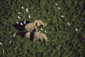 Tim Fitzharris - African Elephant parents and two calves with Cattle Egret flock, Kenya