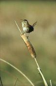 Tim Fitzharris - Marsh Wren singing while perching on a Common Cattail, Alberta, Canada