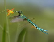 Tim Fitzharris - Long-tailed Sylph feeding on flower nectar, Jurong Bird Park, Singapore