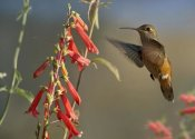 Tim Fitzharris - Broad-tailed Hummingbird feeding on flower nectar, Santa Fe, New Mexico