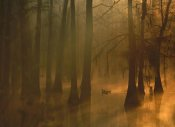 Tim Fitzharris - Mallard pair in Cypress swamp, Calcasieu River, Lake Charles, Louisiana