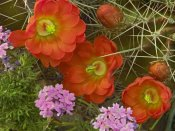 Tim Fitzharris - Claret Cup Cactus and Verbena detail of flowers in bloom, North America
