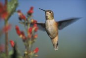 Tim Fitzharris - Rufous Hummingbird feeding on the nectar of a Desert Figwort New Mexico