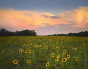 Tim Fitzharris - Common Sunflower field near Flint Hills National Wildlife Refuge, Kansas
