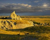 Tim Fitzharris - Mule Deer trio in the grasslands of Badlands National Park, South Dakota