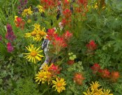 Tim Fitzharris - Orange Sneezeweed and Indian Paintbrush flowers in meadow, North America