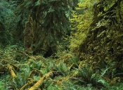 Tim Fitzharris - Lush vegetation in the Hoh Rain Forest, Olympic National Park, Washington