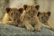 Tim Fitzharris - African Lion three cubs resting on a rock, Hwange National Park, Zimbabwe