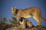 Tim Fitzharris - Mountain Lion or Cougar mother with kitten, North America, captive animal