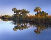 Tim Fitzharris - Royal Palms and reeds along waterway, Fakahatchee State Preserve, Florida