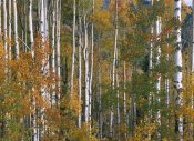 Tim Fitzharris - Aspen trees in fall colors, Lost Lake, Gunnison National Forest, Colorado