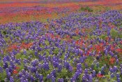 Tim Fitzharris - Hill Country wildflowers including Sand Bluebonnets and Paintbrush, Texas