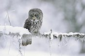 Tim Fitzharris - Great Gray Owl perching on a snow-covered branch, British Columbia, Canada