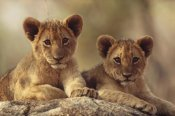 Tim Fitzharris - African Lion cubs resting on a rock, Hwange National Park, Zimbabwe, Africa