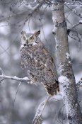 Tim Fitzharris - Great Horned Owl perched in tree dusted with snow, British Columbia, Canada
