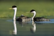 Tim Fitzharris - Western Grebe couple with one parent carrying chick on its back, New Mexico