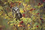 Tim Fitzharris - Northern Saw-whet Owl perching in a wild rose bush, British Columbia, Canada