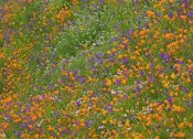 Tim Fitzharris - California Poppy and Desert Bluebell carpeting a spring hillside, California