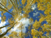 Tim Fitzharris - Looking up at blue sky through a canopy of fall colored Aspen trees, Colorado