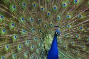 Tim Fitzharris - Indian Peafowl male with tail fanned out in courtship display, native to Asia