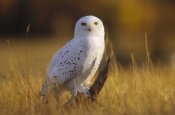 Tim Fitzharris - Snowy Owl adult amid dry grass, circumpolar species, British Columbia, Canada