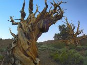 Tim Fitzharris - Foxtail Pine tree, ancient trees, Schulman Grove, White Mountains, California