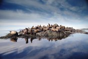 Tim Fitzharris - Steller's Sea Lion group hauled out on coastal rocks, Brothers Island, Alaska