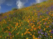 Tim Fitzharris - California Poppy and Desert Bluebells carpeting a spring hillside, California