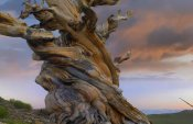Tim Fitzharris - Foxtail Pine tree, twisted trunk of an ancient tree, Sierra Nevada, California