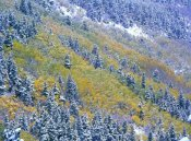 Tim Fitzharris - Aspen and Spruce trees dusted with snow, Rocky Mountain National Park, Colorado