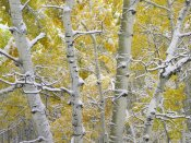 Tim Fitzharris - Snow-covered Aspen forest near Kebbler Pass, Gunnison National Forest, Colorado