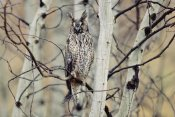 Tim Fitzharris - Long-eared Owl perching in a tree, circumpolar species, British Columbia, Canada