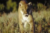 Tim Fitzharris - Mountain Lion or Cougar walking through tall grass towards camera, North America