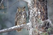 Tim Fitzharris - Great Horned Owl adult perching in a snow-covered tree, British Columbia, Canada