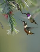 Tim Fitzharris - White-bellied Woodstar hummingbird male and female feeding on flower, Costa Rica