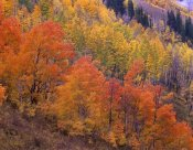 Tim Fitzharris - Aspen grove in fall colors, Washington Gulch, Gunnison National Forest, Colorado