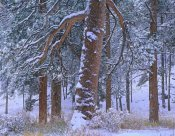 Tim Fitzharris - Ponderosa Pine trees after fresh snowfall, Rocky Mountain National Park, Colorado