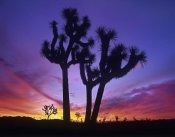Tim Fitzharris - Joshua Trees at sunrise near Quail Springs, Joshua Tree National Park, California