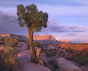 Tim Fitzharris - Single-leaf Pinyon Pine at Toroweap Overlook, Grand Canyon National Park, Arizona