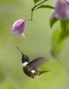 Tim Fitzharris - Purple-throated Woodstar hummingbird hovering near Bougainveillea flower, Ecuador
