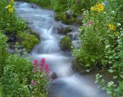 Tim Fitzharris - Orange Sneezeweed and Indian Paintbrush beside stream, Yankee Boy Basin, Colorado