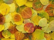 Tim Fitzharris - Fallen autumn colored Aspen leaves on the ground covered in dew droplets, Colorado