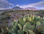 Tim Fitzharris - Opuntia cactus, Chisos Mountains, Big Bend National Park, Chihuahuan Desert, Texas
