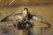 Tim Fitzharris - Peregrine Falcon adult in protective stance standing on downed duck, North America