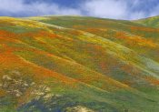 Tim Fitzharris - California Poppy covered hillside, spring, Tehachapi Hills near Gorman, California