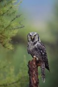Tim Fitzharris - Northern Hawk Owl perching in a tree, circumpolar species, British Columbia, Canada
